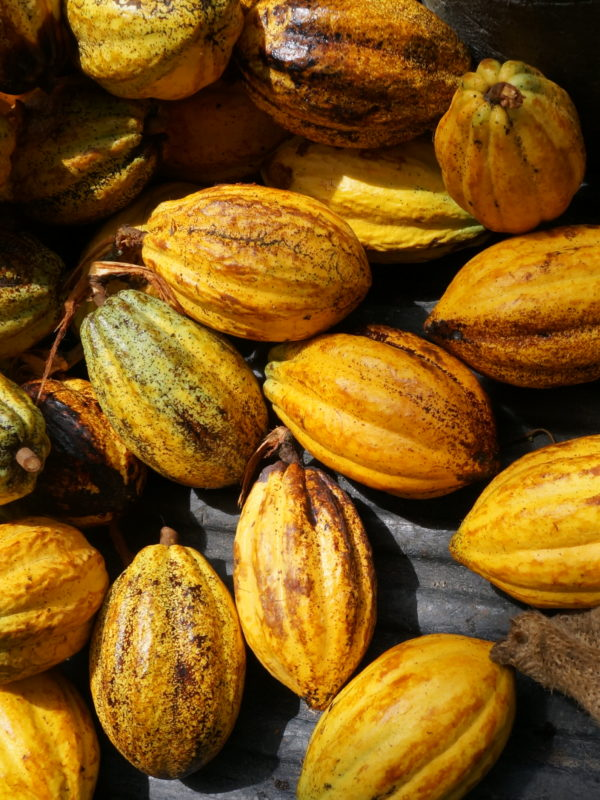 Cacao, entre profit et destruction.